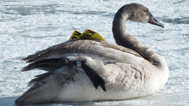 Trumpeter swan K88 sitting on the ice with foot up at La Salle Park in Burlington, Ontario