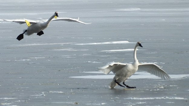 Trumpeter swans landing on the ice at La Salle Park, in Burlington, Ontario