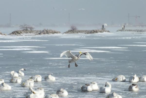 trumpeter swan prepares to land on ice - la salle park - burlington