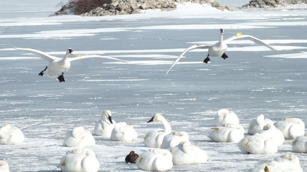 Trumpeter swans landing in the winter on ice at La Salle Park, Burlington, Ontario