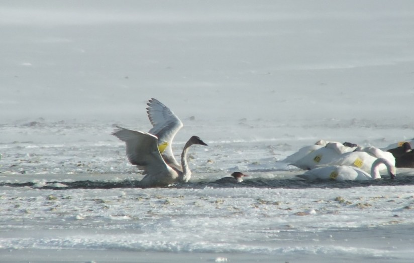 Trumpeter swans in the icy waters at La Salle Park, in Burlington, Ontario