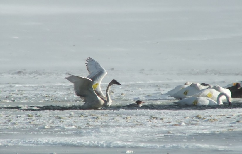 trumpeter swans in icy water - la salle park - burlington - ontario 3