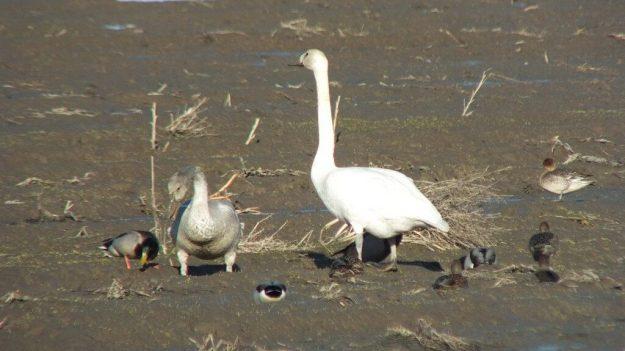 trumpeter swans on delta farmland - BC - 2