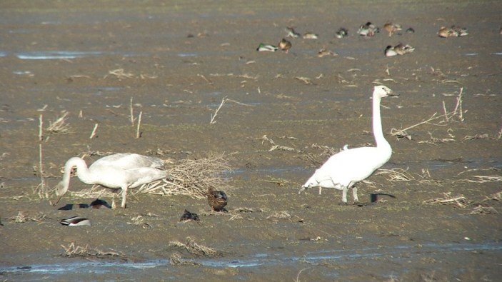 trumpeter swans on delta farmland - BC - 4