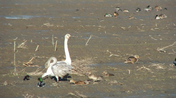 trumpeter swans on delta farmland - BC - 5