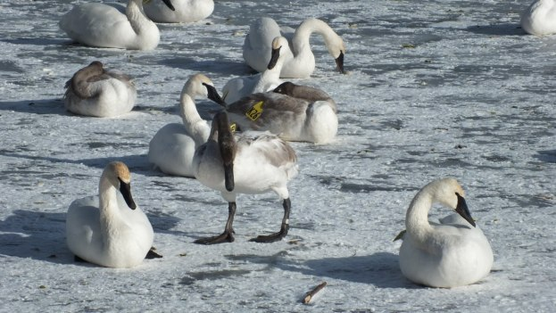 Trumpeter swans walking and sitting on the ice at La Salle Park, in Burlington, Ontario
