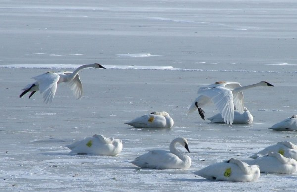 trumpeter swans prepare to land on ice - burlington bay - ontario