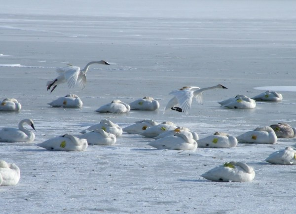 trumpeter swans prepare to land on ice - burlington bay - ontario 3