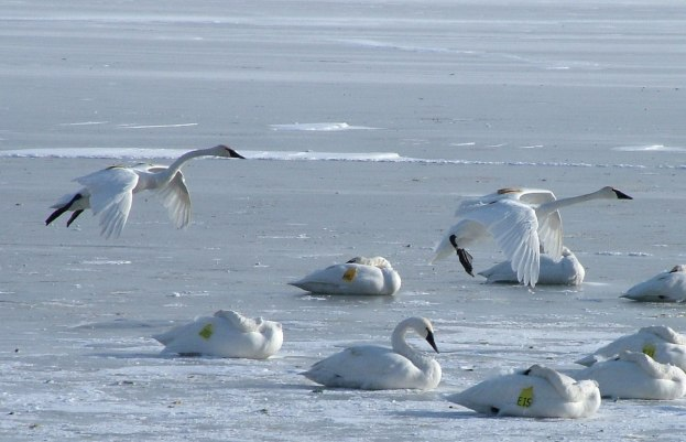 Two Trumpeter swans landing on the ice at La Salle Park in Burlington, Ontario