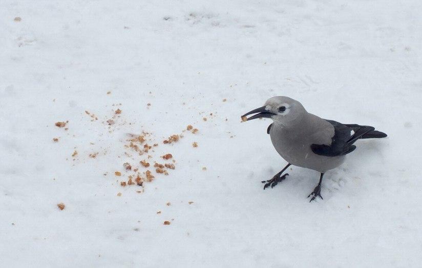 Clark's Nutcracker on snow at Lake Louise - Alberta 3