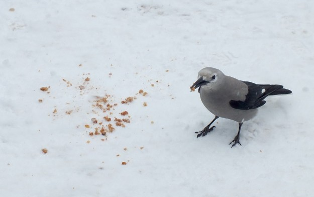 Clark's Nutcracker on snow at Lake Louise - Alberta 5