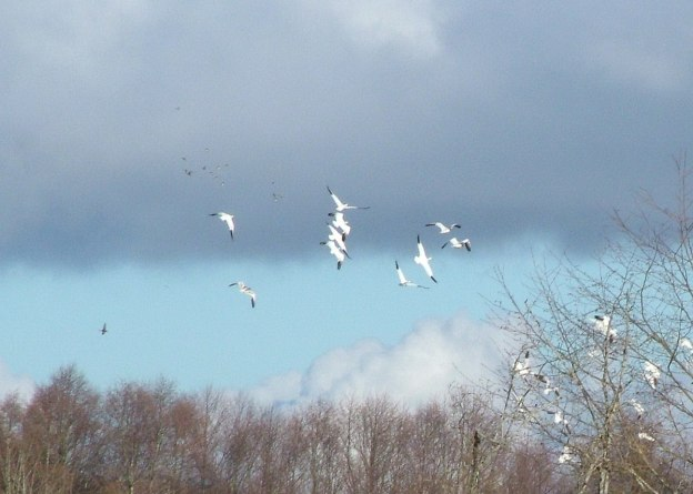 Lesser Snow Geese in flight above reifel migratory bird sanctuary 4