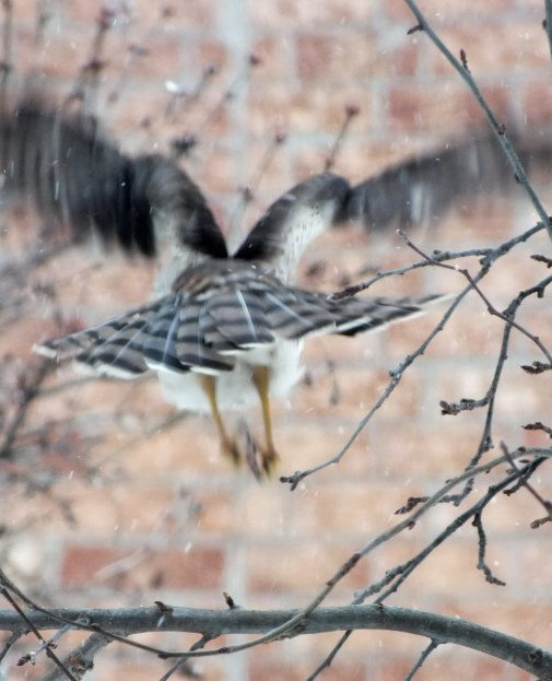 Sharp-shinned Hawk flies into Toronto snowstorm - Canada