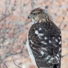 photograph of a Sharp-shinned hawk during a snowstorm in Toronto, Ontario.
