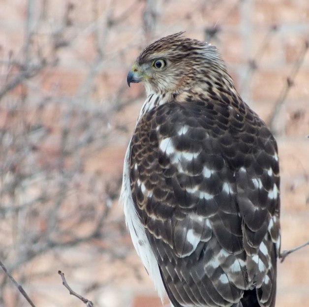 Sharp-shinned Hawk has had enough of the snowstorm in Toronto - Canada