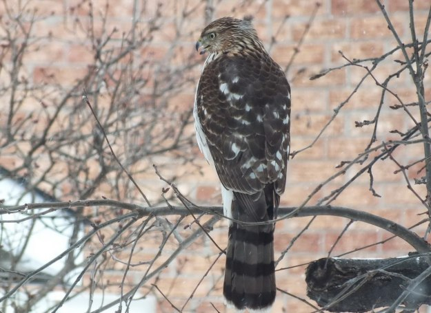 Sharp-shinned Hawk takes a break in snowstorm -Toronto - Canada