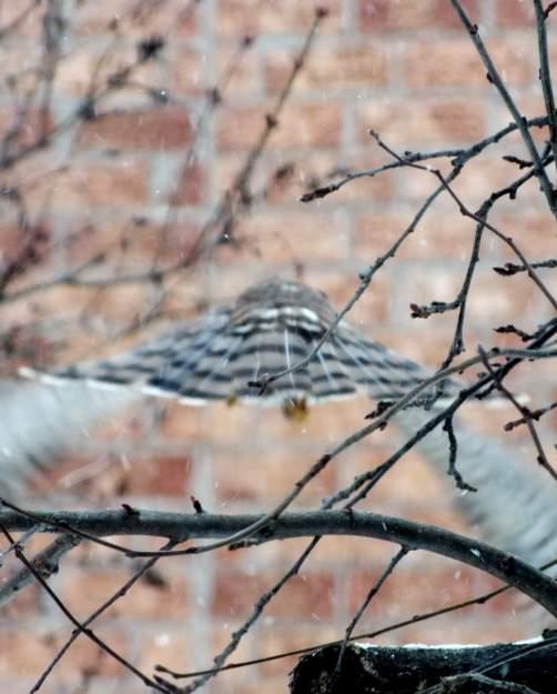 Sharp-shinned Hawk vanishing into falling snow in Toronto - Canada