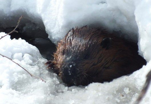 Image of a beaver exiting the ice at a lake in Arrowhead Provincial Park, Ontario