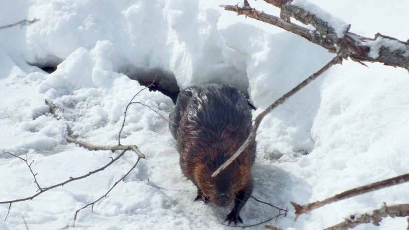 beaver moves towards camera at arrowhead provincial park - ontario