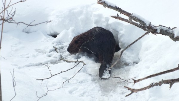 beaver on frozen lake - arrowhead provincial park - ontario