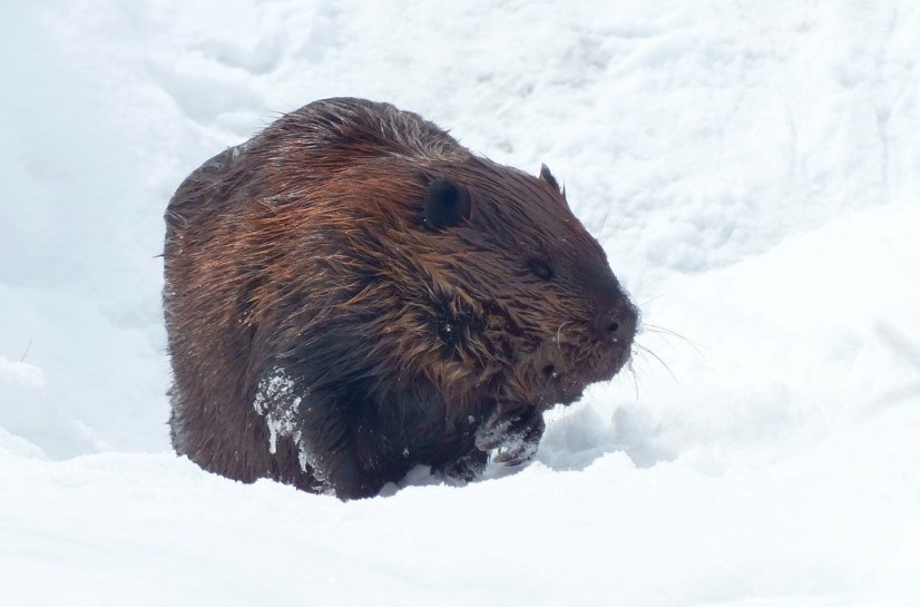 beaver stands on snow at arrowhead provincial park - ontario