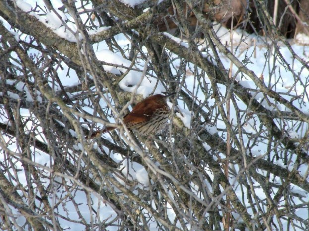 brown thrasher - lynde shores conservation area - whitby 15