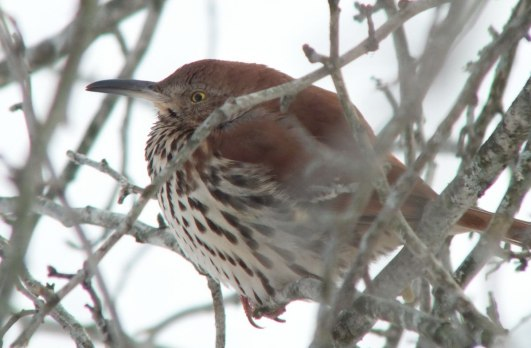 brown thrasher - lynde shores conservation area - whitby 4