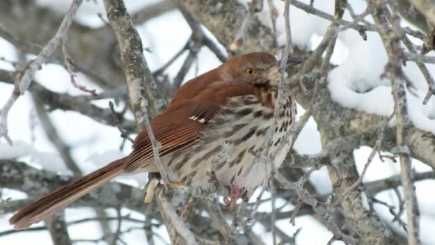 brown thrasher - lynde shores conservation area - whitby 8