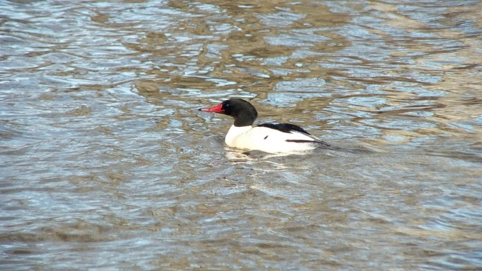 common merganser at reifel bird sanctuary 2