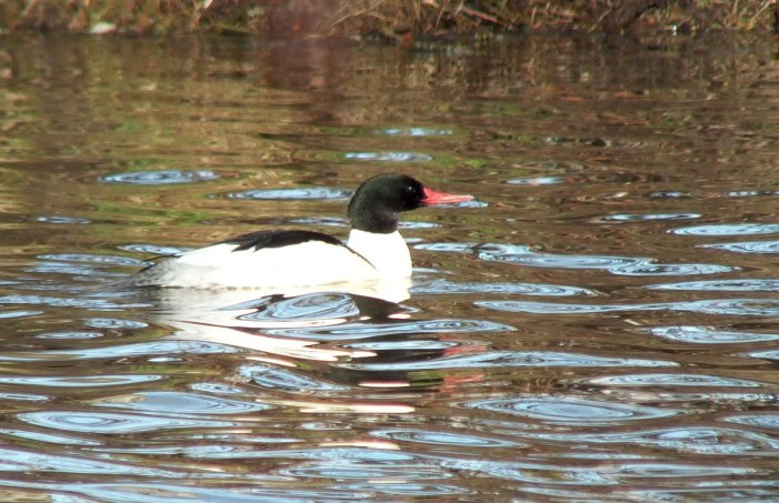 common merganser at reifel bird sanctuary 6