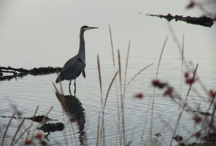 great blue heron - comox - bc