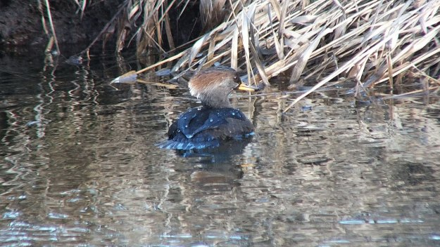 hooded merganser - female - reifel bird sanctuary 1