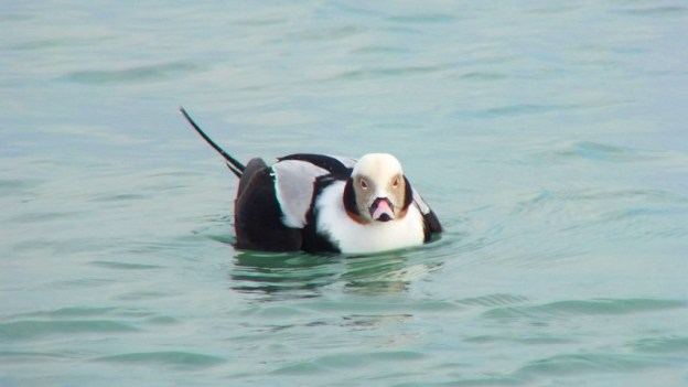 long-tailed duck - male - bluffers park - toronto 5