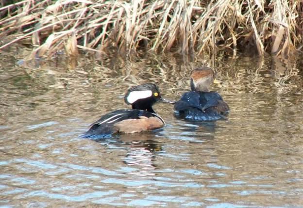 male and female hooded merganser swimming - reifel bird sanctuary 2