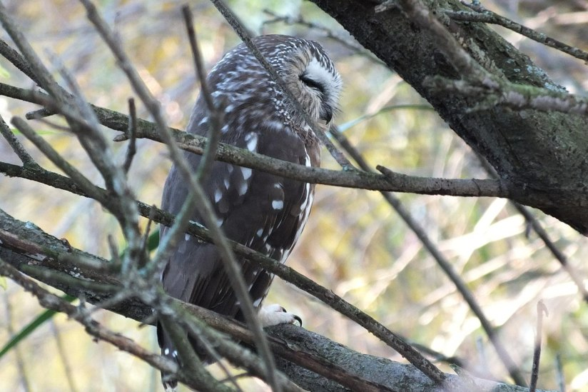 Northern Saw-Whet Owl sitting in a tree in Milliken Park in Toronto, Ontario, Canada
