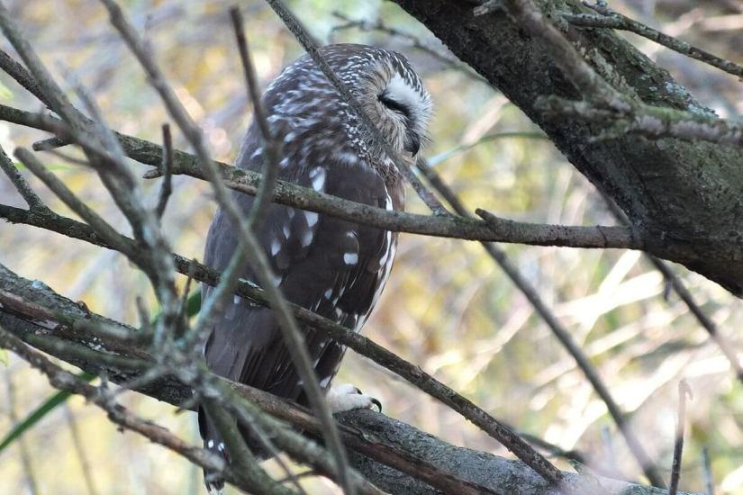 northern saw whet owl - toronto - ontario 10