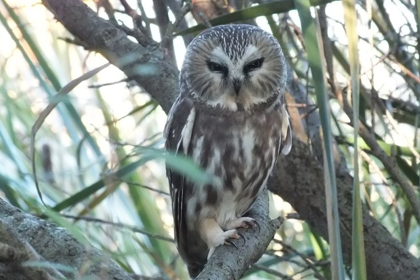 Northern Saw-Whet Owl sitting on a tree at Milliken Park in Toronto, Ontario, Canada