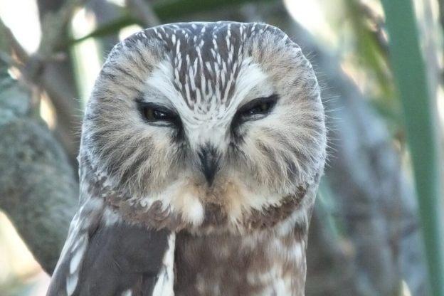 northern saw whet owl - toronto - ontario 3