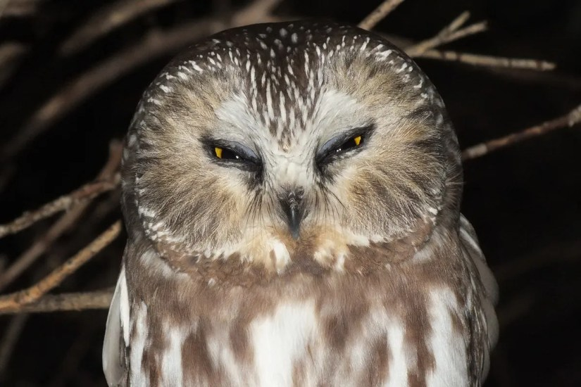 northern saw whet owl - toronto - ontario 4