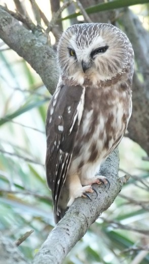 Northern Saw-Whet Owl sitting on a tree in Milliken Park in Toronto, Ontario, Canada