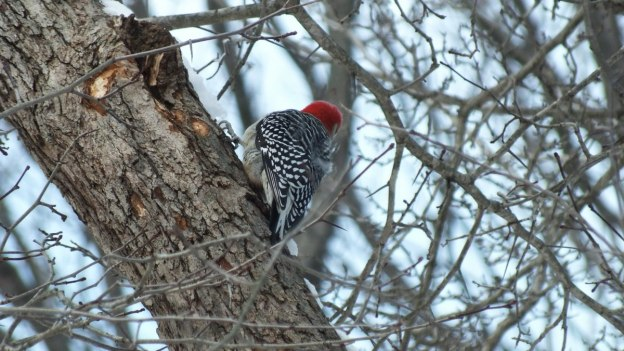 red breasted woodpecker - lynde shores conservation area - whitby