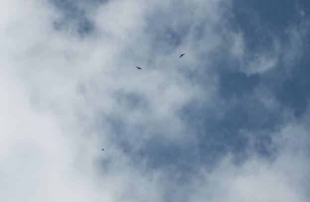 Sandhill cranes flying high above Cootes Paradise in Hamilton, Ontario, Canada