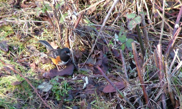 Spotted towhee foraging on the ground at Reifel Migratory Bird Sanctuary in Delta, B.C., Canada