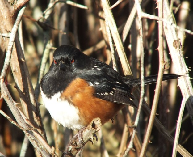 Spotted towhee at Reifel Migratory Bird Sanctuary in Delta, B.C., Canada
