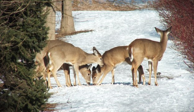 deer eating along pathway at lynde shores - whitby