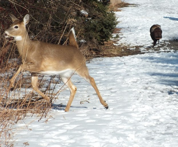 deer jumps off pathway at lynde shores - whitby