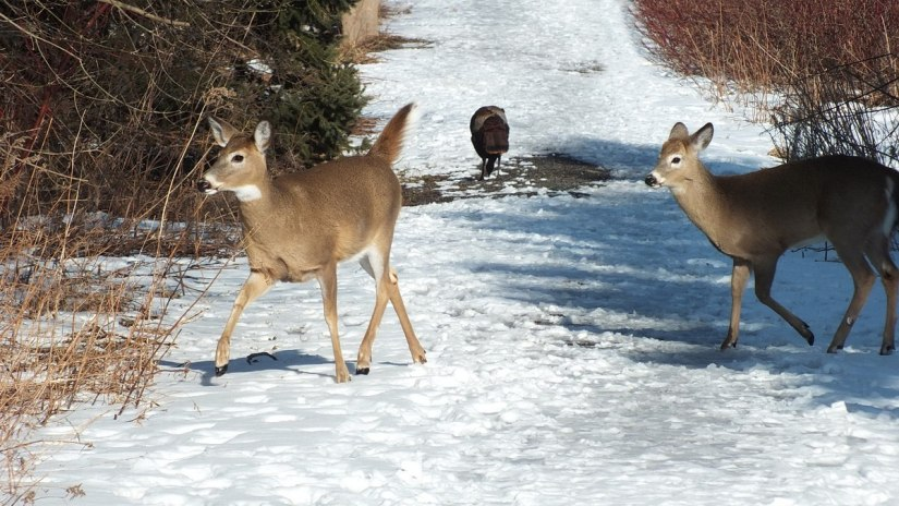 deer run across pathway at lynde shores - whitby