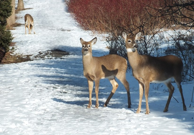 deer standing on pathway at lynde shores - whitby