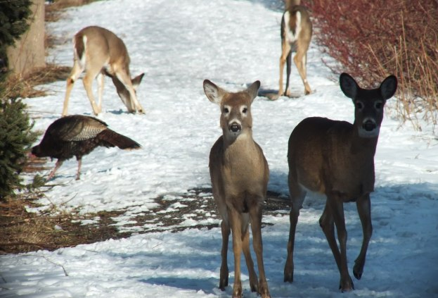 deer walk along pathway at lynde shores - whitby
