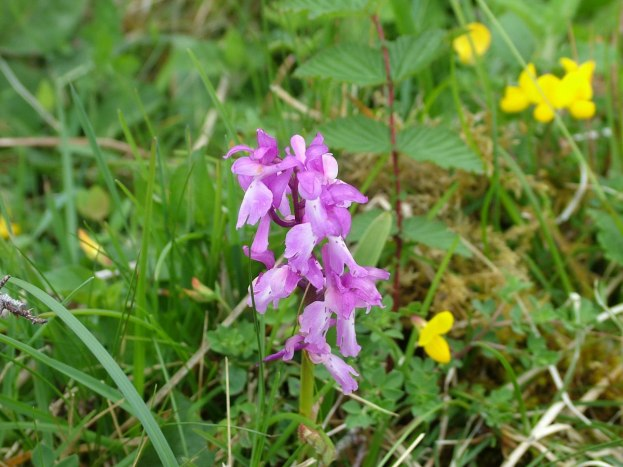 early purple orchid - the burren - ireland
